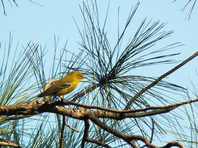 Pine Warbler, October 2012