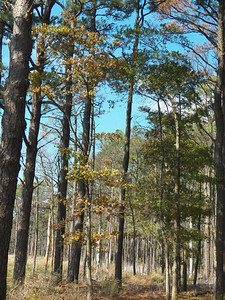 Loblolly Pines, October 2012