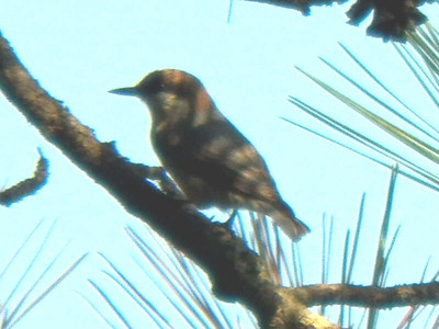 Brown-headed Nuthatch, October 2012
