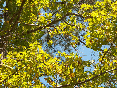 Sweetgum leaves, October 2012