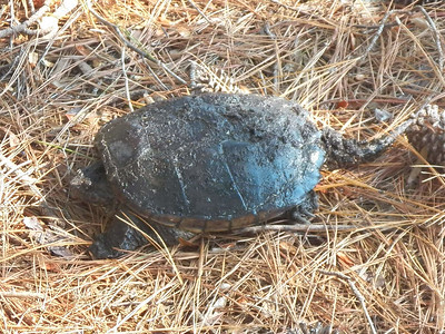 Snapping Turtle, October 2012