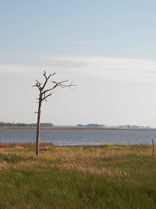 a lone dead tree in the marsh, October 2012