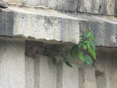 Cliff Swallow nests on the side of Monocacy Aquaduct, June 17, 2017