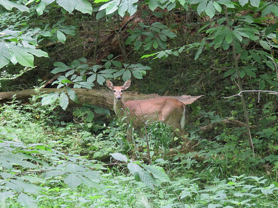 White-tailed Deer along the trail headed north from Monocacy Aquaduct, June 17, 2017