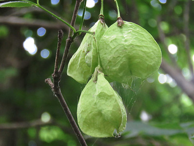 seed pods on a tree, north of Monocacy Aquaduct, June 17, 2017