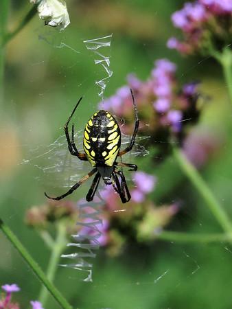 Garden Spider, September 16, 2018