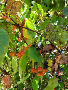 red berries and grapes, October 7, 2017