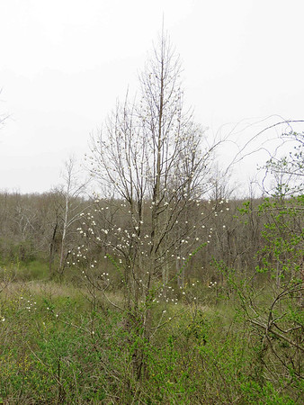 unidentified tree with white flowers, Torrey C. Brown Rail Trail, April 15, 2018