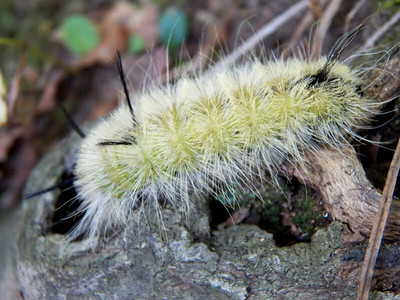 Banded Tussock Moth caterpillar,