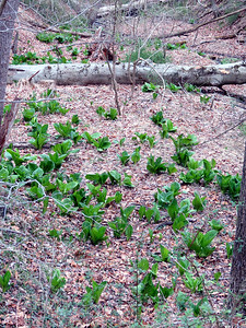 Skunk Cabbage coming up along the Torrey C. Brown Rail Trail, April 15, 2018