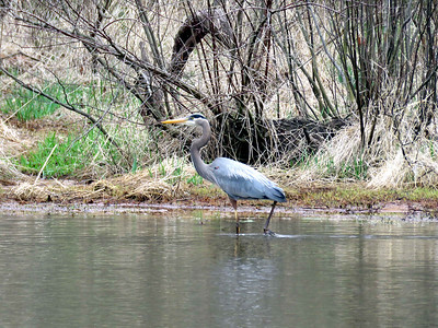 Great Blue Heron in a pond along the Torrey C. Brown Rail Trail, April 15, 2018