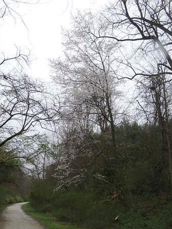 a cherry tree, Torrey C. Brown Rail Trail, April 15, 2018