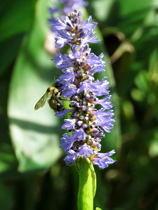 Pickerel Weed flowers with bee