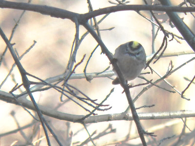 Golden-crowned Kinglet,  the North Tract, January 20, 2013