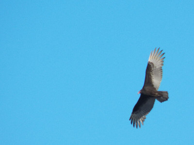Turkey Vulture at the North Tract, January 20, 2013
