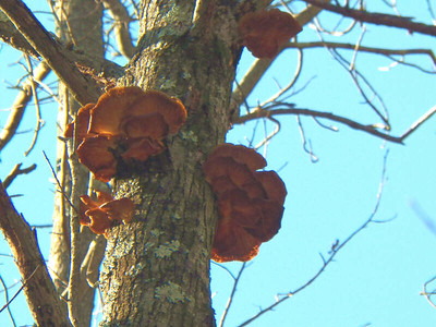 tree fungus at the North Tract, January 20, 2013