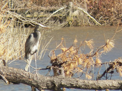 a Great Blue Heron, the Brown Property, January 2013