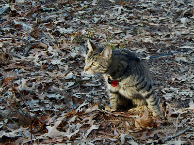 We took my sister's cat Toffee for a walk at the Brown Property, January 2013