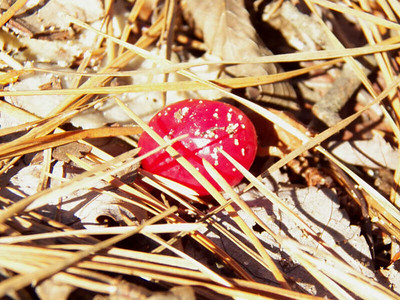 a cranberry, the Brown Property, January 2013