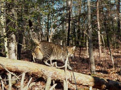 a fallen tree is a good place for a cat to explore, the Brown Property, January 2013