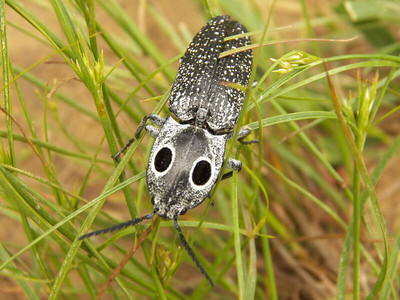 Eyed Click-beetle