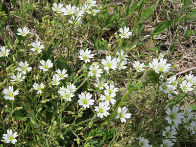 Serpentine Chickweed