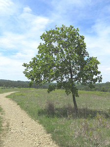 oak tree next to the Serpentine Trail