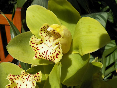 Green Dragon orchid