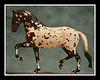1KBT (s) Color Guard<br /> 1/4 Appaloosa 3/4 Trakehner<br /> Stallion<br /> Sire of Farbschutze (mare)<br /> Sire of Farbperfekt (foal)