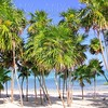 Chit palm tree in caribbean tropical beach