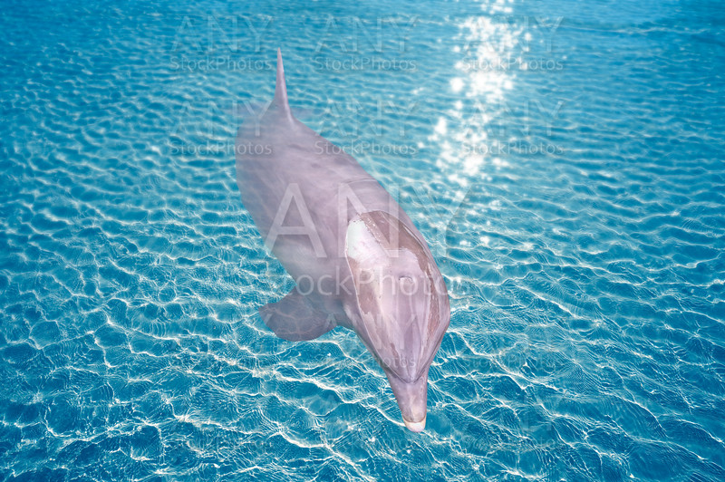Dolphin in turquoise water photomount