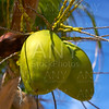 Coconut fruits hanging from palm tree