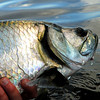 Campeche, Mexico Tarpon Fishing - Jim Klug Photos
