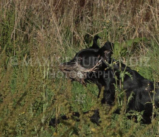 Yorkshire Gundog NoviceFT 6 Oct 2017-0389