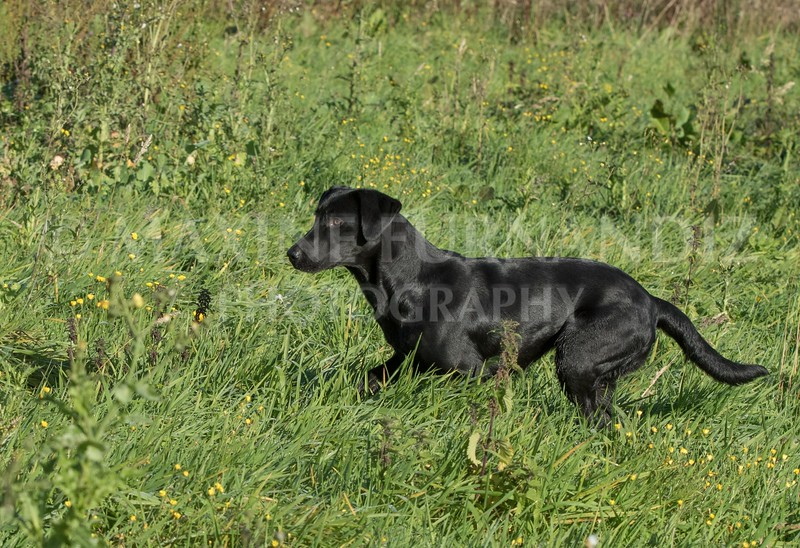 Yorkshire Gundog NoviceFT 6 Oct 2017-0385