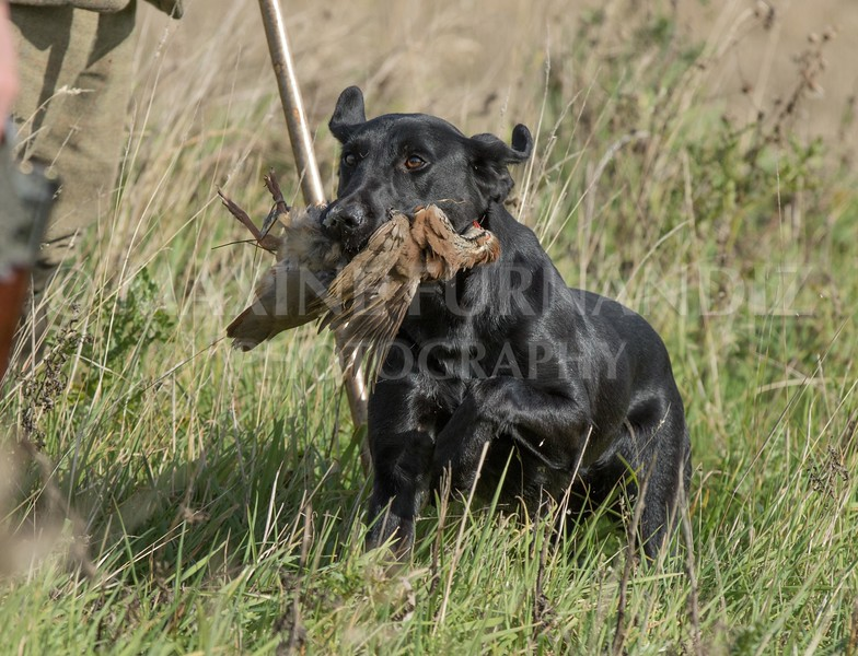 Yorkshire Gundog NoviceFT 6 Oct 2017-0593