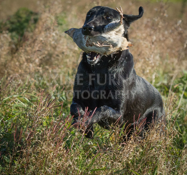 Yorkshire Gundog NoviceFT 6 Oct 2017-0411