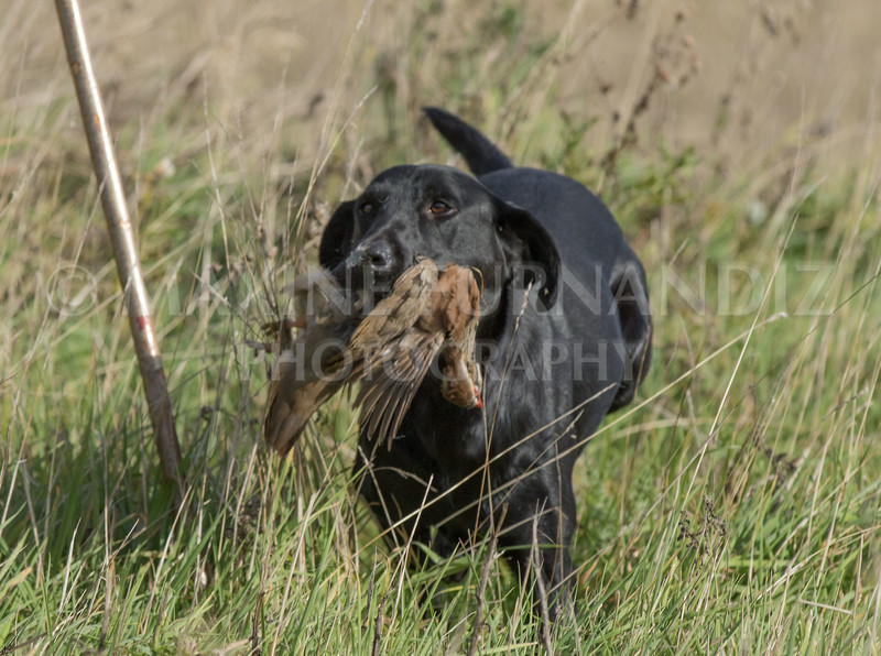 Yorkshire Gundog NoviceFT 6 Oct 2017-0591