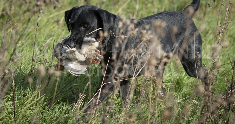 Yorkshire Gundog NoviceFT 6 Oct 2017-0582