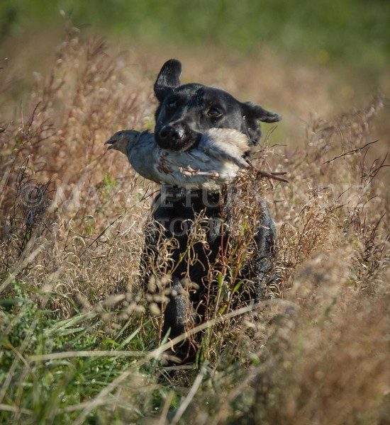 Yorkshire Gundog NoviceFT 6 Oct 2017-0409