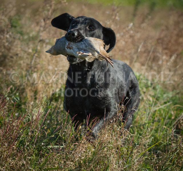 Yorkshire Gundog NoviceFT 6 Oct 2017-0410