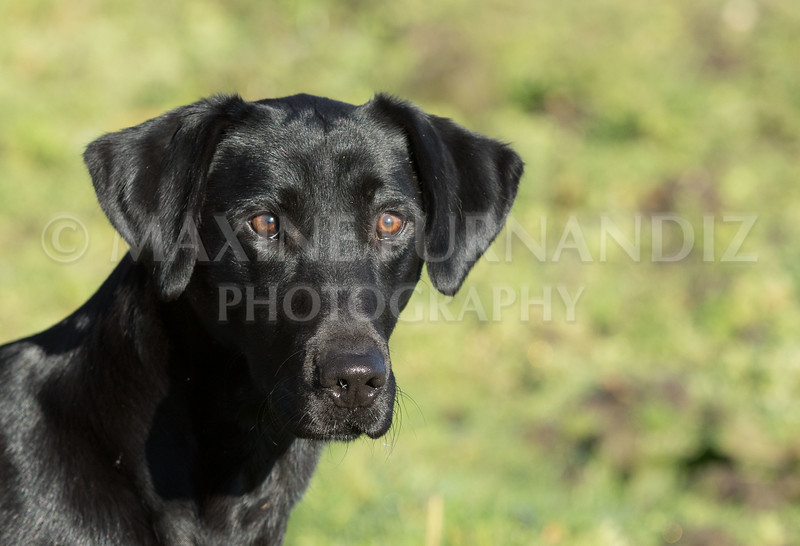 Yorkshire Gundog NoviceFT 6 Oct 2017-0402