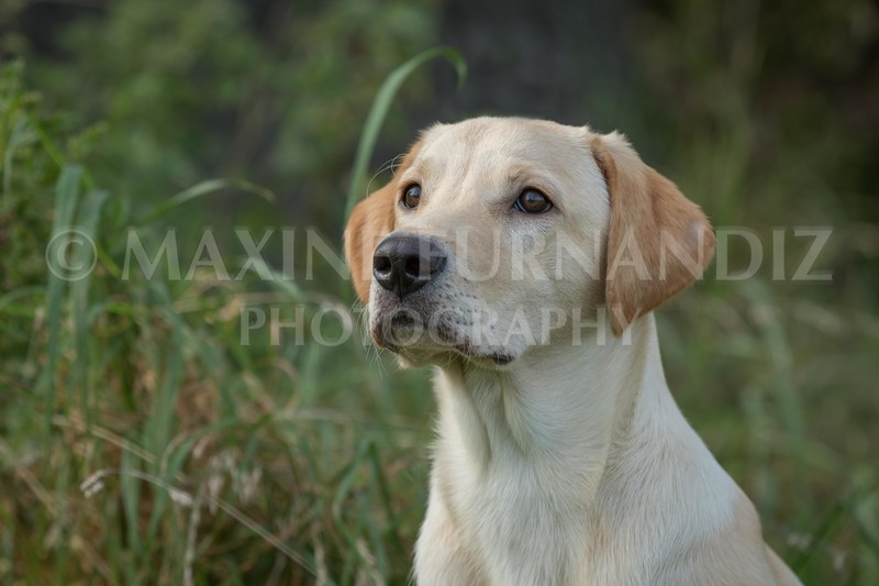 Yorkshire Gundog NoviceFT 6 Oct 2017-0679-Edit