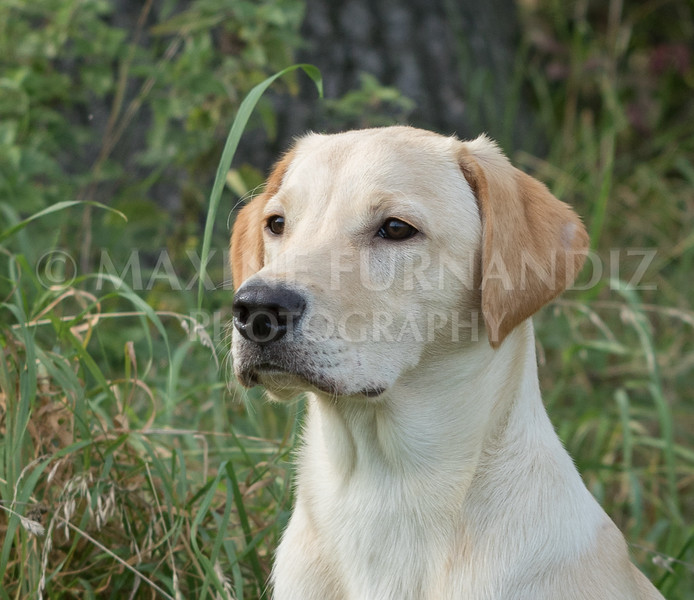 Yorkshire Gundog NoviceFT 6 Oct 2017-0668-Edit
