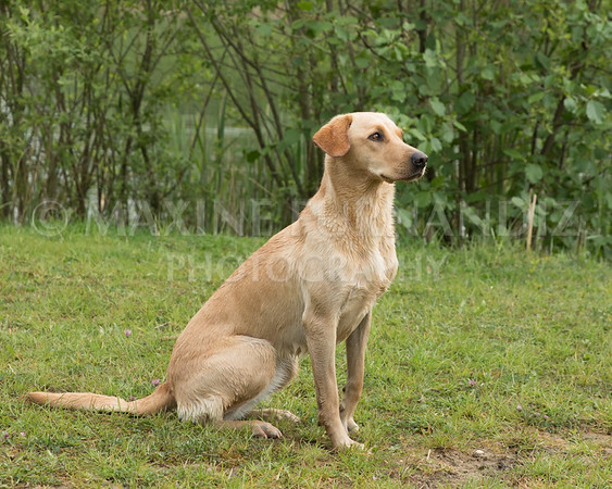Novice Gundog May 2017-4280