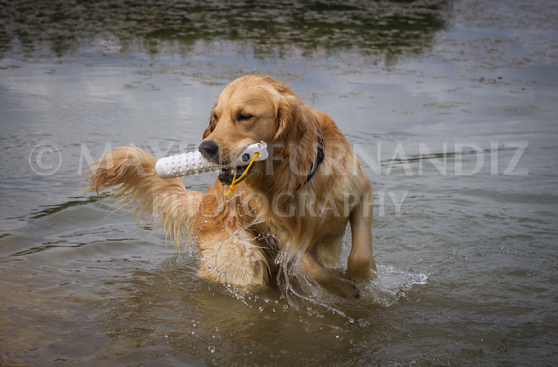 Beginners Gundog Part d August 2016-1675