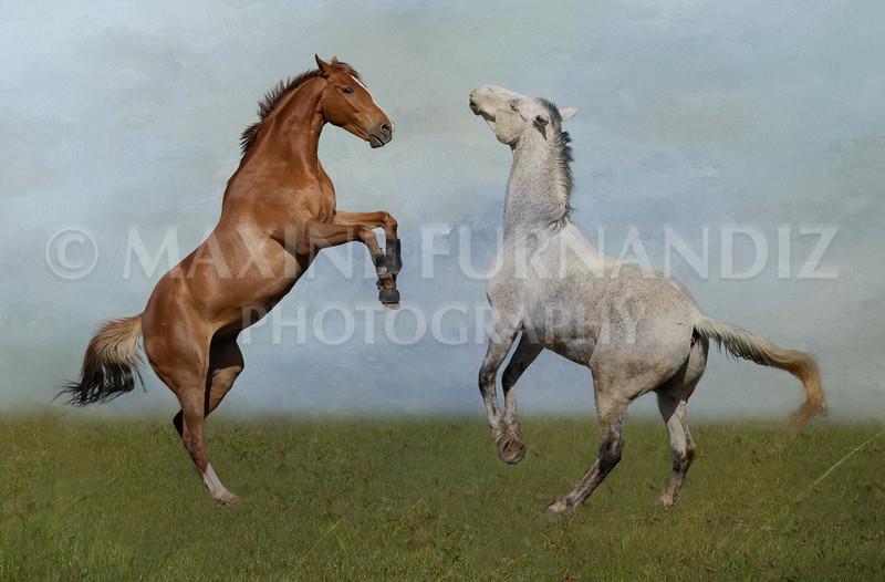 Devon-8849 2 Horses Rearing