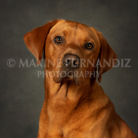 Rusty Pugsley Head side pose with Dry Rose Background-9652