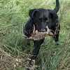 Yorkshire Gundog NoviceFT 6 Oct 2017-0624