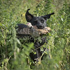 Yorkshire Gundog NoviceFT 6 Oct 2017-0634